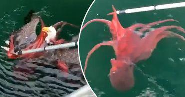 Орлан решил поужинать осьминогом, но в итоге сам оказался в ловушке. Фото: Point.md.