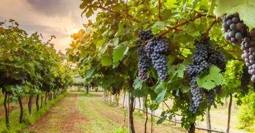 В 2020 году зафиксирован самый низкий за 10 лет урожай винограда.