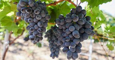 География экспорта молдавского винограда сузилась с 29 до 22 стран.