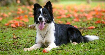 Кинологи назвали самые обучаемые породы собак.
