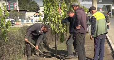 В Бельцах при высадке деревьев отказались от саженцев-прутиков. Фото: btv.md.