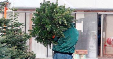 В Молдове начали перерабатывать новогодние ёлки в удобрения