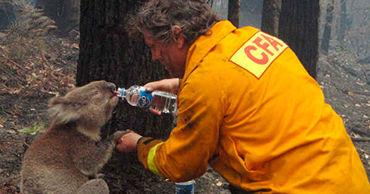 В Австралии собрали более $750 тыс. для спасения коал, пострадавших в пожарах.