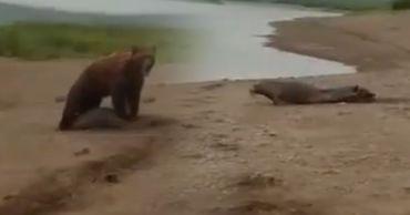 Рыбак рёвом спас нерпу, которую пытался задрать медведь.