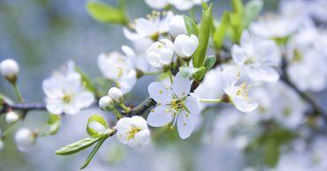 Заморозки второй половины марта в Молдове не нанесли значительный ущерб садам черешни.