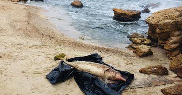 Еще одного мертвого дельфина обнаружили на одесском пляже.