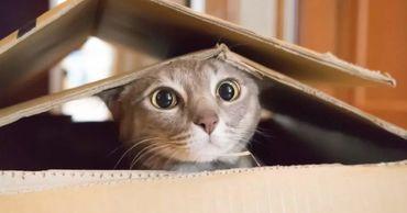 Ученые выяснили, что кошки могут забираться в воображаемые коробки.