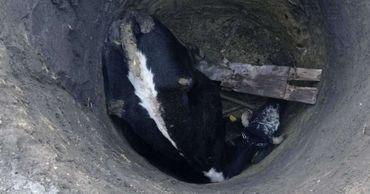 Необычная спасательная операция в Яловенах: из ямы доставали корову.