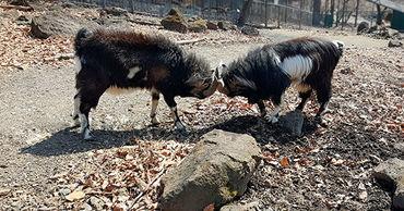 Опекун козла Тимура продолжит шефство над его сыном.