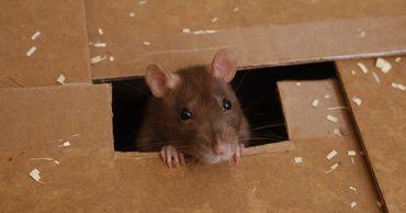 Ученые выяснили, когда у человечества завелись мыши.