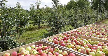 Садоводы Молдовы корректируют летний прогноз урожая яблок. Фото: east-fruit.com.