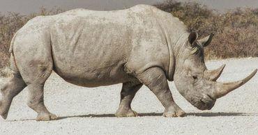Биологи вырастили два эмбриона северного белого носорога.