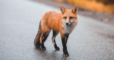 В Румынии лисица оставила водителя авто без перекуса.