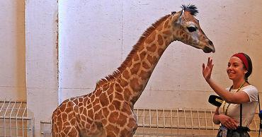 В одесском Биопарке родился жирафенок