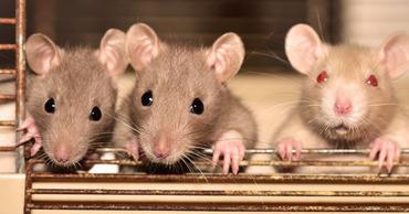 Чипированные крысы под наркозом смогут выявлять коронавирус по запаху всего за две минуты.