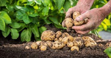 АNSA опубликовало список производителей картофеля, допущенных на рынок.