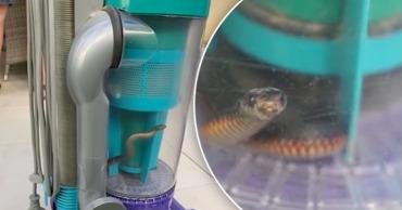Австралийка поймала ядовитую змею пылесосом