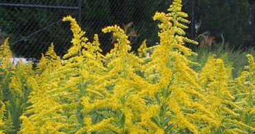 Наступил период цветения амброзии, он представляет опасность для аллергиков.