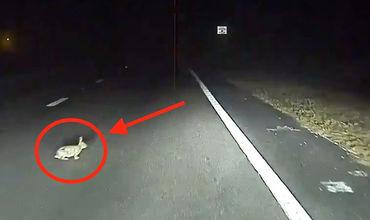Автопилот Tesla предотвращает наезд на кролика.