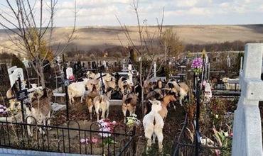 Стадо коз обнаружено на территории кладбища Святого Лазаря (Видео)