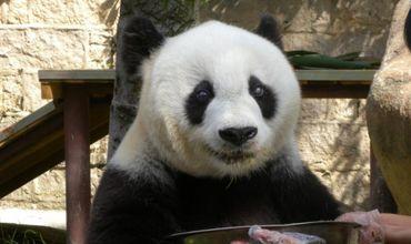 Edinburgh: Programul de reproducţie a urşilor panda, suspendat