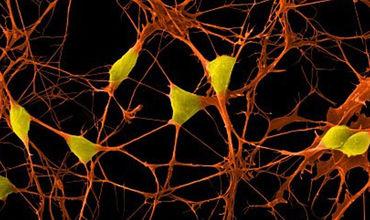 Биологи превратили клетки кожи в стволовые без генетической модификации.