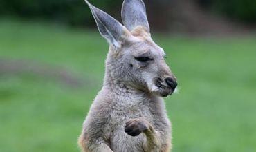 Агрессивный кенгуру успел сильно ранить двухлетнюю девочку.