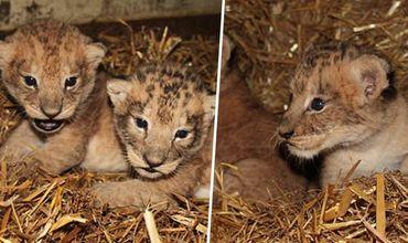 Angajaţii unei grădini zoologice au ucis nouă pui de lei