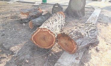 Общество возмущено вырубкой деревьев в сквере кафедрального собора Кишинева.