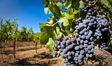 В прошлом году было раскорчевано 4660 га виноградных плантаций.