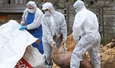 Вирус африканская чума свиней набирает оборот на территории Румынии.