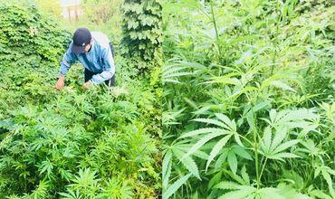 Все обнаруженные во дворе дома подозреваемого 48 растений конопли были изъяты и переданы на экспертизу.