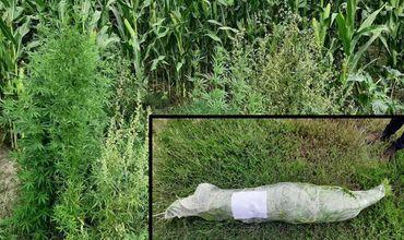 Жители Трушен выращивали на своих участках среди кукурузы коноплю