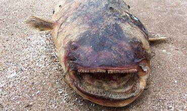 Огромного зубастого сома выбросило на берег водохранилища