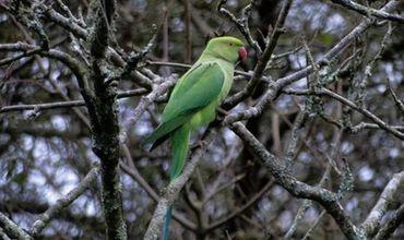Ожереловые попугаи поселились в Германии.