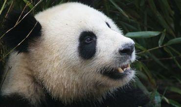 Заповедник неоднократно предупреждал, что панды, несмотря на свой милый облик, являются потенциально опасными животными.