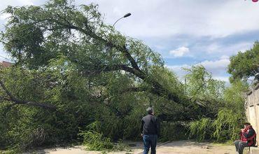 В столице ветер повалил огромное дерево.