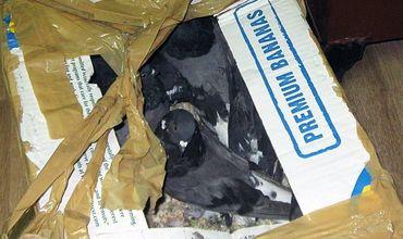 У гражданина Молдовы в Брянске отобрали 20 голубей в картонных коробках