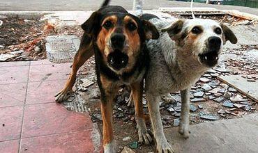 Стая собак терроризирует жителей квартала на Чеканах
