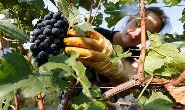 В Молдове обсудят закупочные цены на виноград.