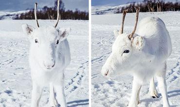В Норвегии сфотографировали редчайшего олененка-альбиноса
