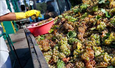 Виноградари предлагают винзаводам больше винограда, чем им необходимо