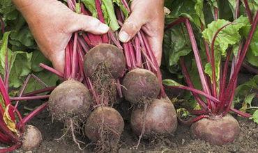 В Молдове ожидается хороший урожай свеклы
