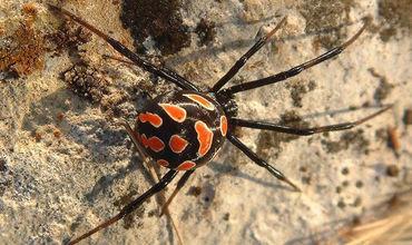 На курортах Одесской области снова появились опасные ядовитые пауки
