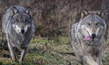Гибридный волк — это смесь обычного волка с одичавшими собаками.