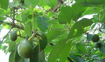 Полиция предупреждает, что украденные плоды несут в себе опасность для здоровья.