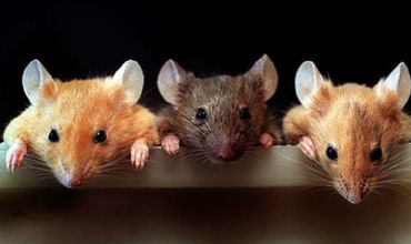 """Британские ученые превратили самца мыши в самку, не меняя """"его"""" генов"""