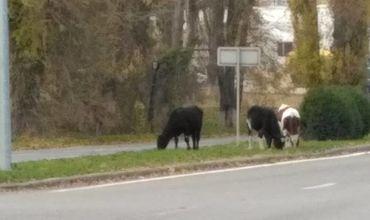 Imaginea zilei: La păscut pe bulevardul Dacia din Capitală