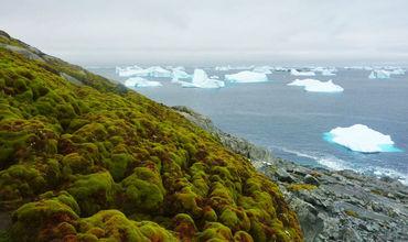 Антарктида начала стремительно покрываться мхом.