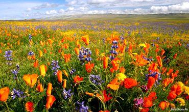 Маковое поле летом.